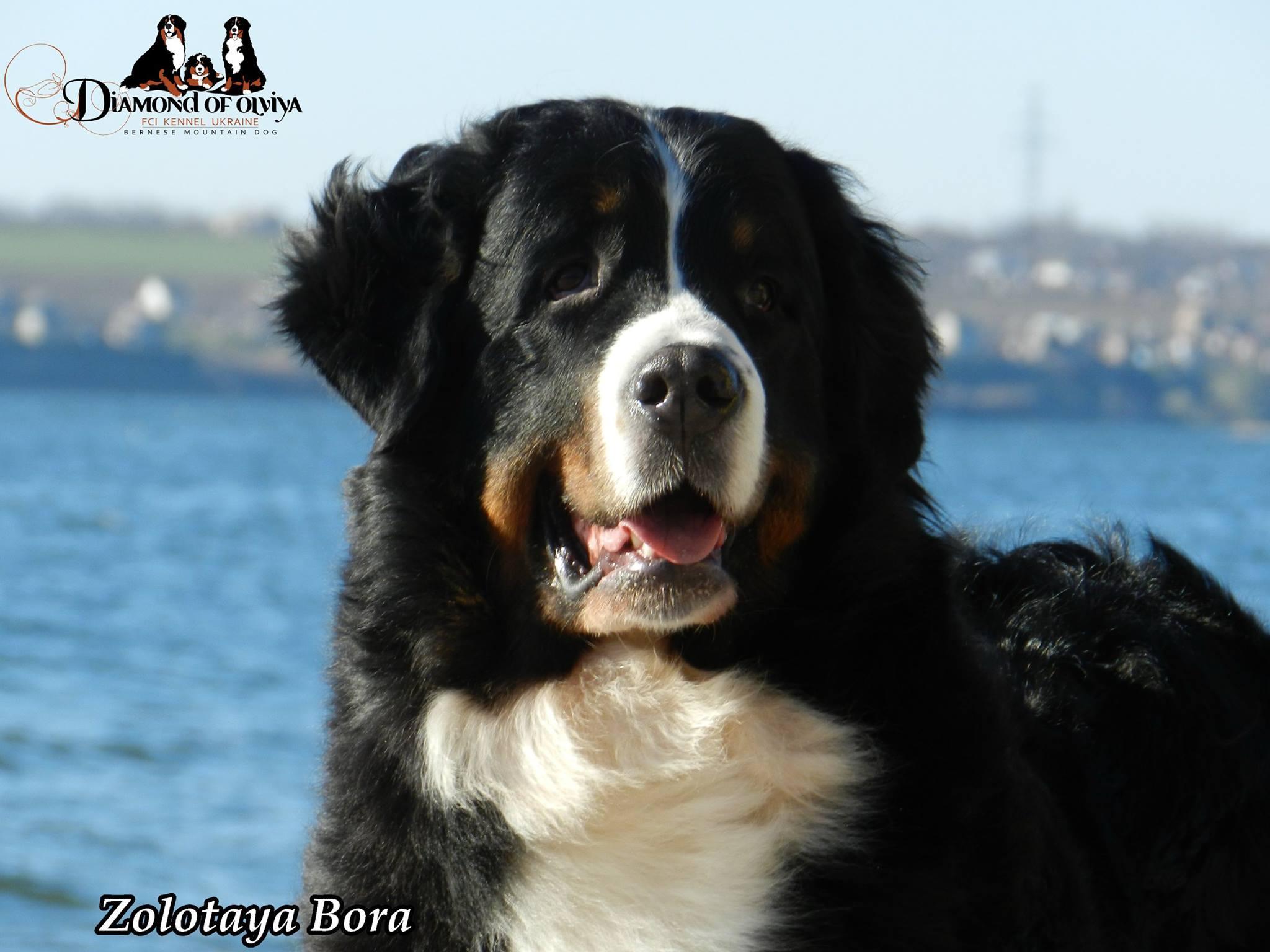 Бернский зеннненхунд - собака с сердцем льва и душой человека 12281510