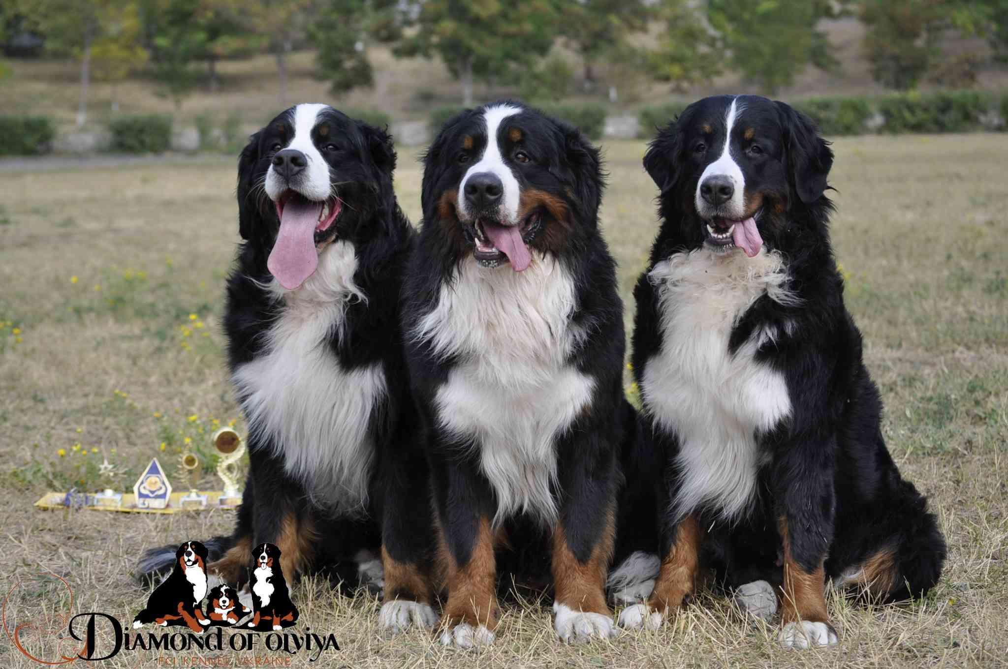 Бернский зеннненхунд - собака с сердцем льва и душой человека 12290510
