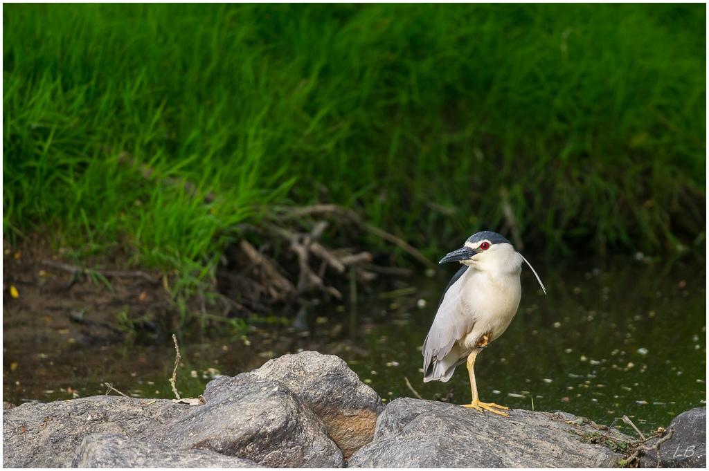 Photographein le club photo en ligne - Portail* Heron_15