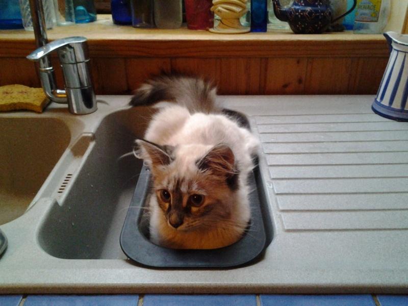 Loreleï, chatonne européenne, née en juillet 2015. 20151115