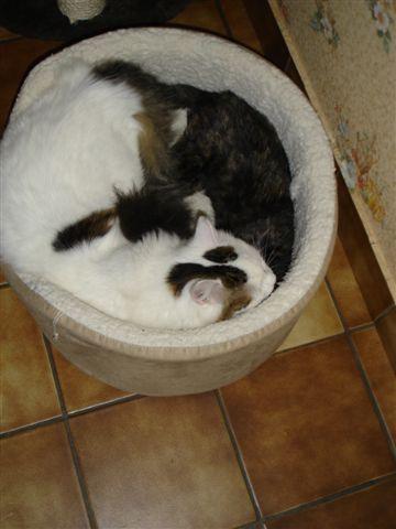LULU, chatonne écaille de tortue, née vers le 15/09/15 Dsc01112