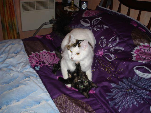 LULU, chatonne écaille de tortue, née vers le 15/09/15 Dsc01120