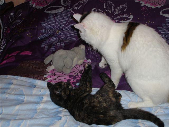 LULU, chatonne écaille de tortue, née vers le 15/09/15 Dsc01121