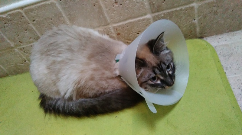Lana, chatonne européene typée siamois, née en juillet 2015 Imag0410