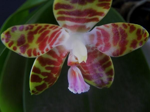 Phalaenopsis gigantea x venosa (Jade Gold) 0214_610