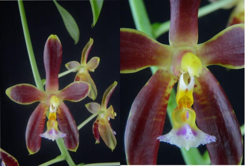 Phalaenopsis mannii x venosa (Mannosa) Fo2_8010