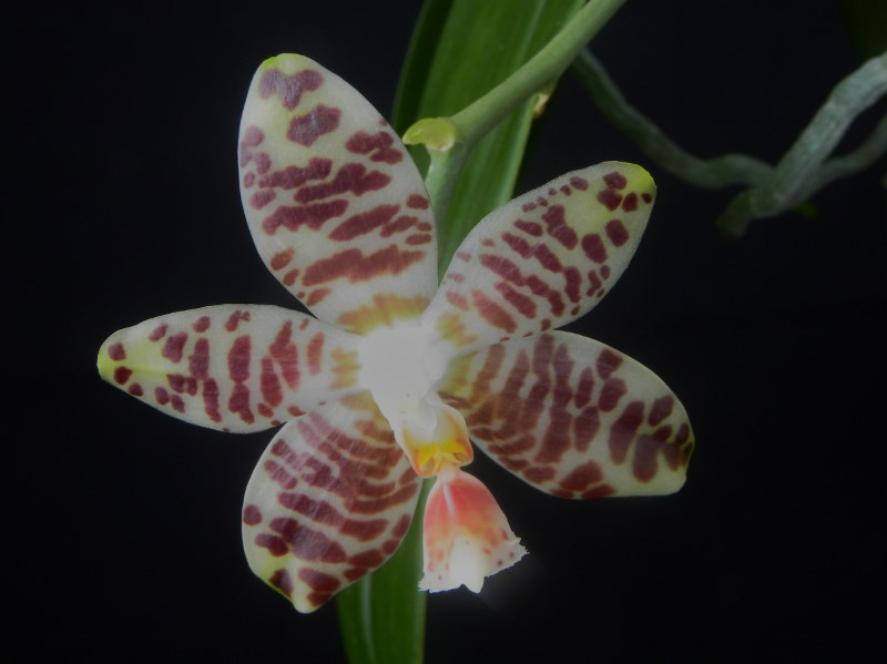 Phalaenopsis amboinensis x gigantea (David Lim) Nr_20816