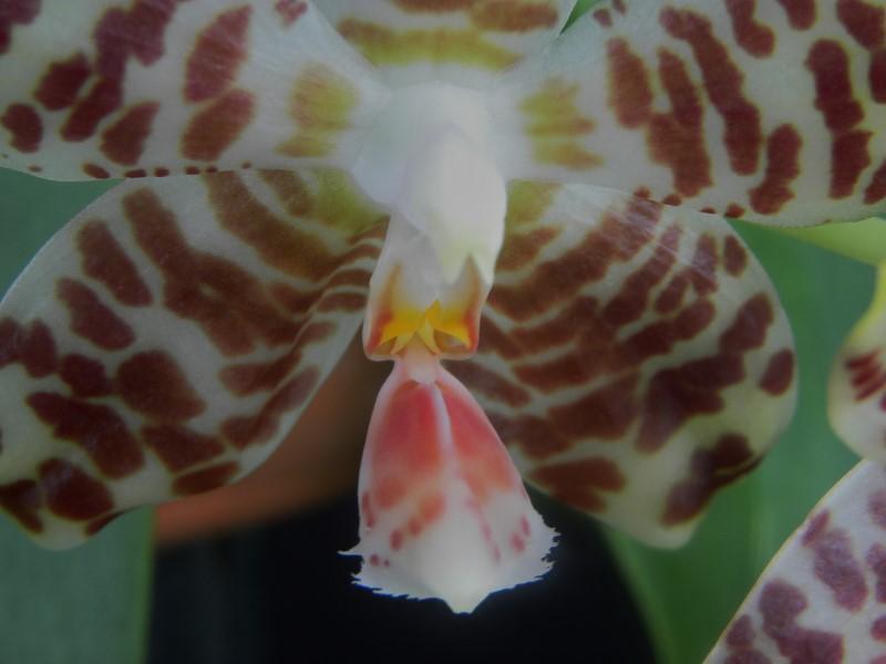 Phalaenopsis amboinensis x gigantea (David Lim) Nr_20817