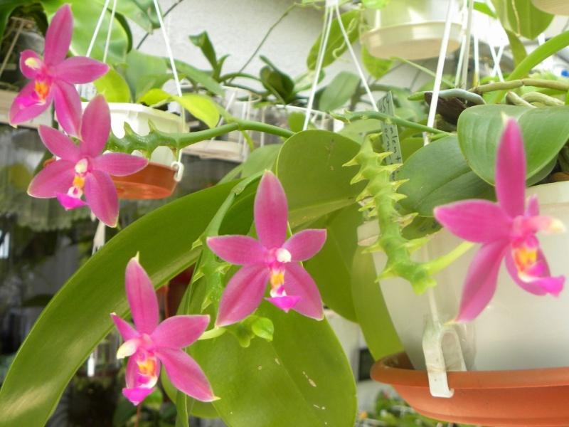 Phalaenopsis violacea x cornu-cervi (Valentinii) Nr_45410