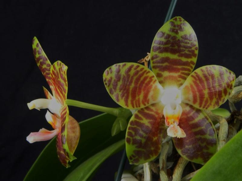Phalaenopsis amboinensis x gigantea (David Lim) Nr_57210