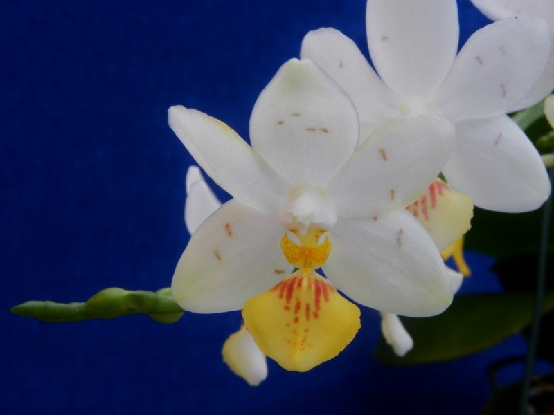 Phalaenopsis lobbii x tetraspis (Yaphon Lobspis Circle) Nr_60312