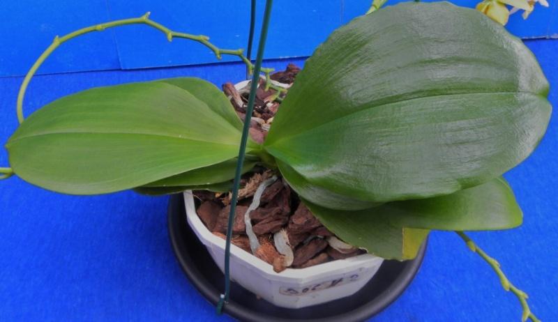 Phalaenopsis lobbii x tetraspis (Yaphon Lobspis Circle) Nr_60313