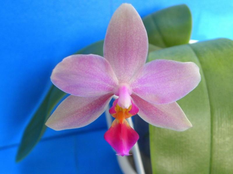 Phalaenopsis sanderiana x bellina Blue (Purple Surprise) Nr_65611