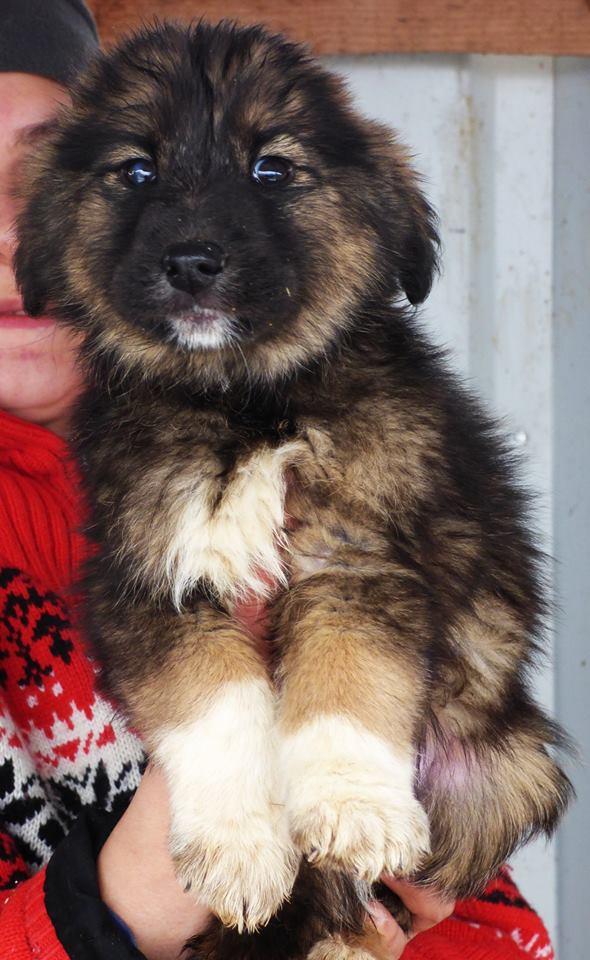 EGLANTINE, chiot femelle, née en octobre 2015 (Pascani)- en pension chez Lucian-réservée adoption par cécile (54) Eglant12