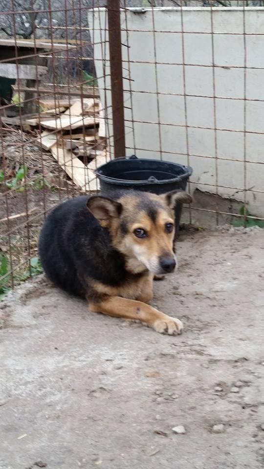 SHIVA, femelle, taille moyenne, né en 2009, refuge de Alina et Anda - adoptée par Anne-Marie et Jacques (dpt24) Shiva310