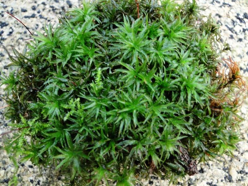 mousses et lichens [verrouillé] - Page 3 4_dsc010