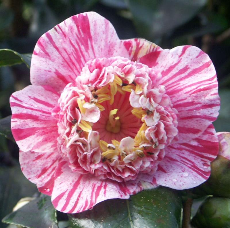 Pétaloïdes - extensions folles chez les folles fleurs Candy_10