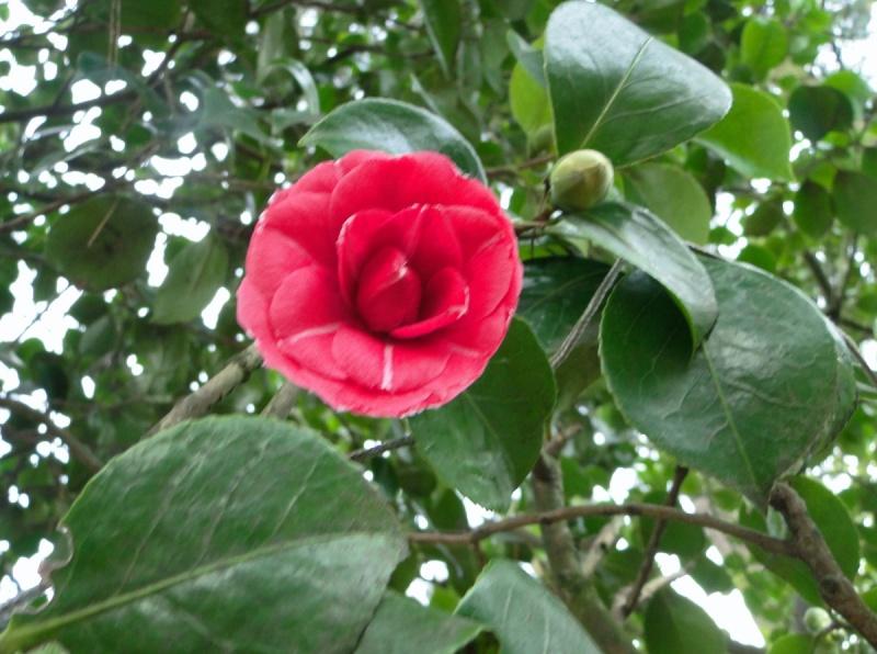 Camellia rouge [identification non terminée]  Inc_st10