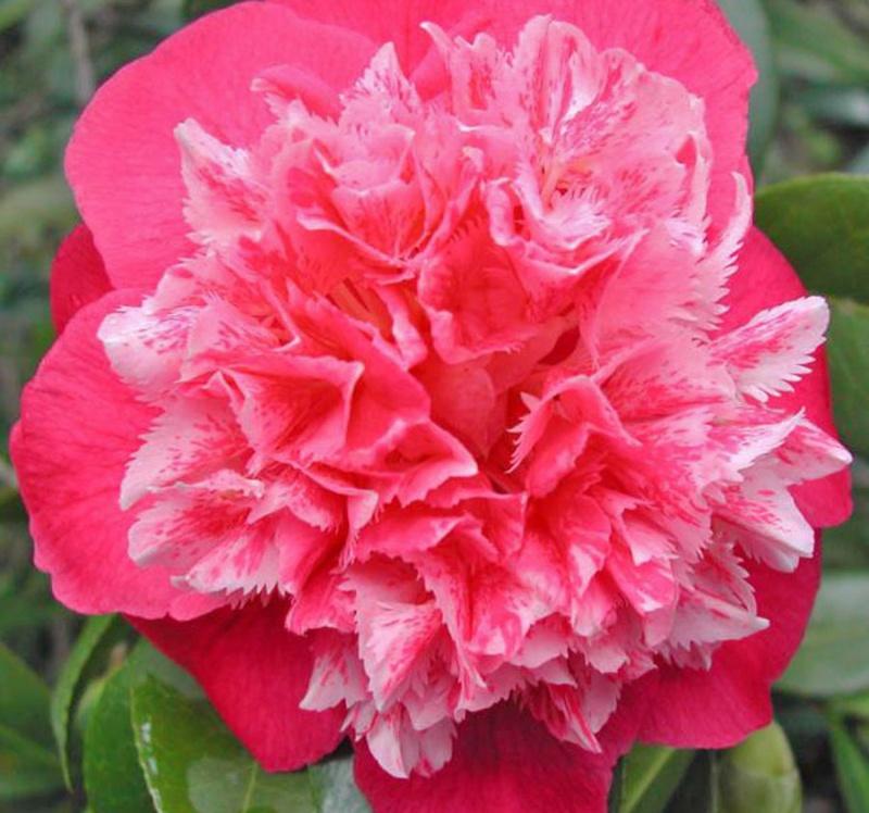 Pétaloïdes - extensions folles chez les folles fleurs Patriz10