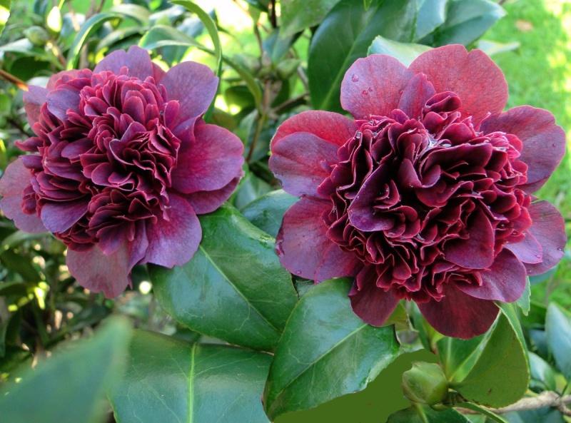 Camellia rouge [identification non terminée]  Takani11