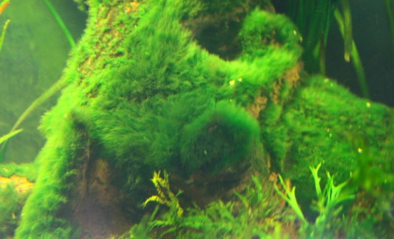 Retour a l'aquariophilie avec un 60 Litres et des crevettes Tapisa10