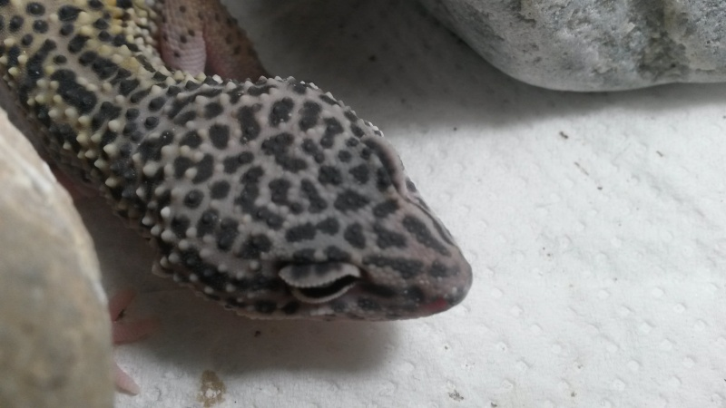 Geckos devenu gris 20151212