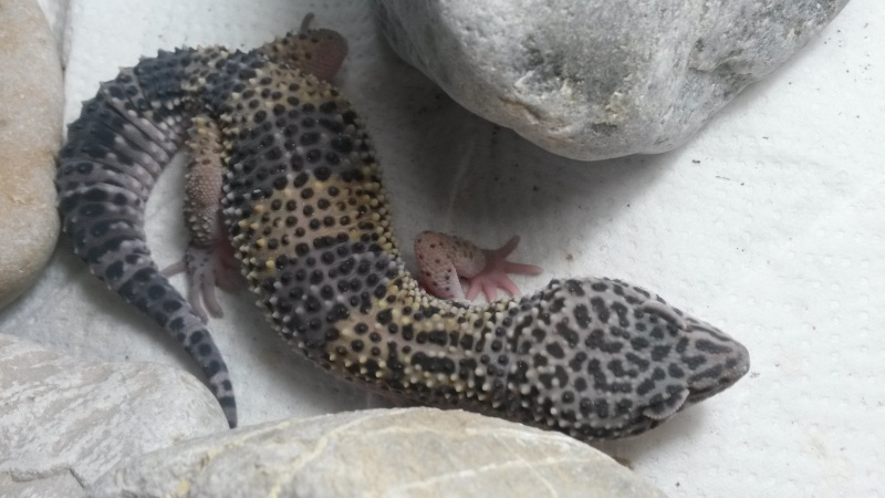 Geckos devenu gris 20151214