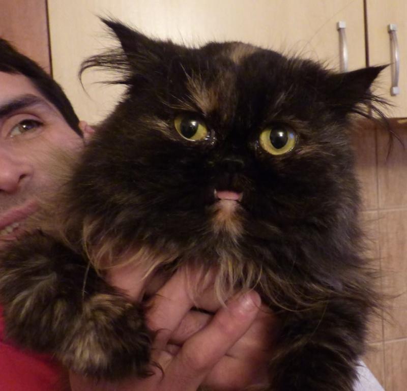 VERA [EX HOCUS POCUS], chat persan femelle, né en mars 2004 - adoptée par David (dpt84) 12243210