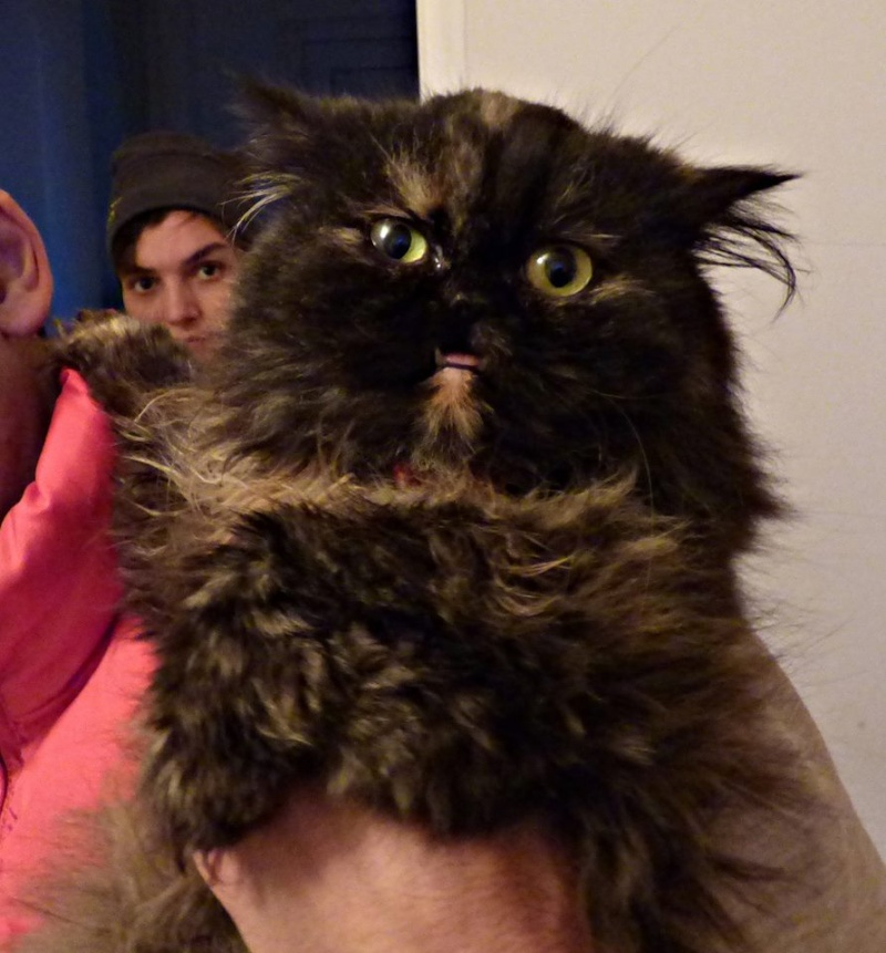 VERA [EX HOCUS POCUS], chat persan femelle, né en mars 2004 - adoptée par David (dpt84) 12246810
