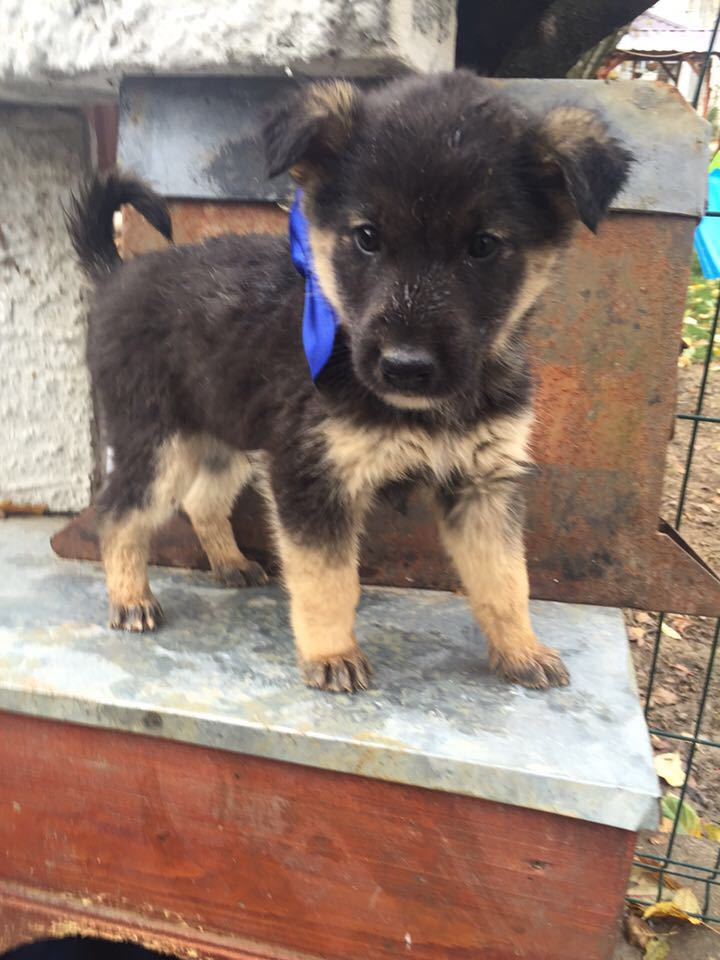 VOYOU, chiot mâle, croisé BA -né en août 2015 (Pascani) - en pension chez Lucian 12277112