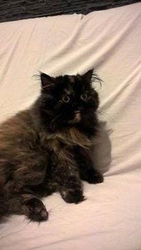 VERA [EX HOCUS POCUS], chat persan femelle, né en mars 2004 - adoptée par David (dpt84) 12606710