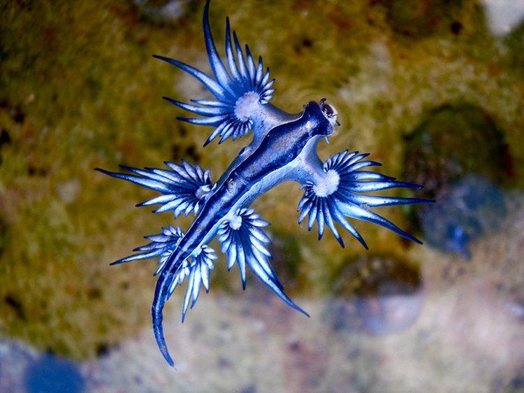 Dragon bleu des mers 1bb10