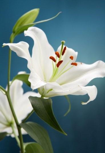 Fleurs  Lys-8710