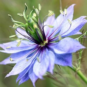 Fleurs  Nigell10