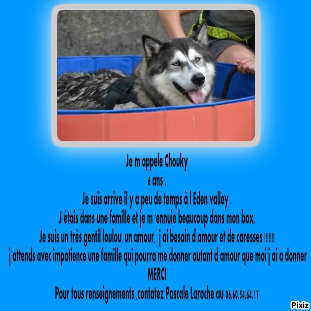 Chouky, Husky 6 ans ASSO39 ADOPTE Pixiz-14