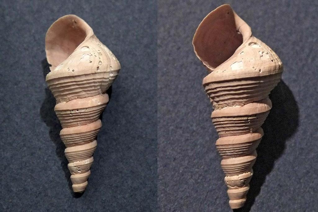 [résolu]Sigmesalia variabilis (Defrance, 1828) Auversien, Mesali10