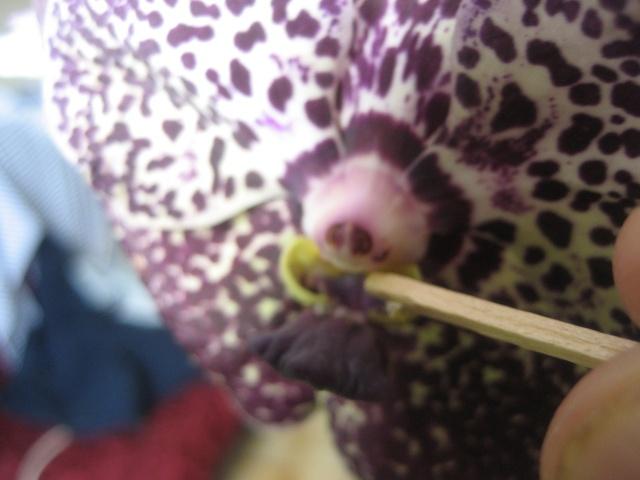 J'ai pollinisé mon vanda. Img_9348