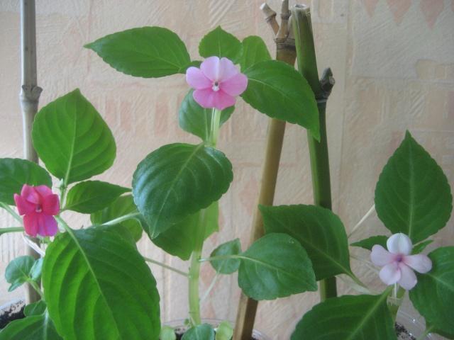 Couleurs fleurs impatiens goutte de sang hybrides Img_9443