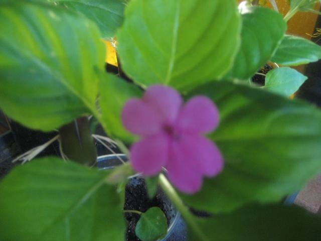 Couleurs fleurs impatiens goutte de sang hybrides - Page 2 Img_9470