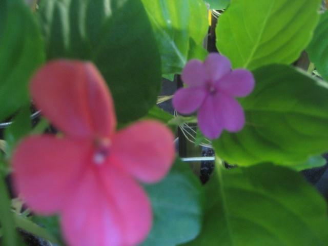 Couleurs fleurs impatiens goutte de sang hybrides Img_9471