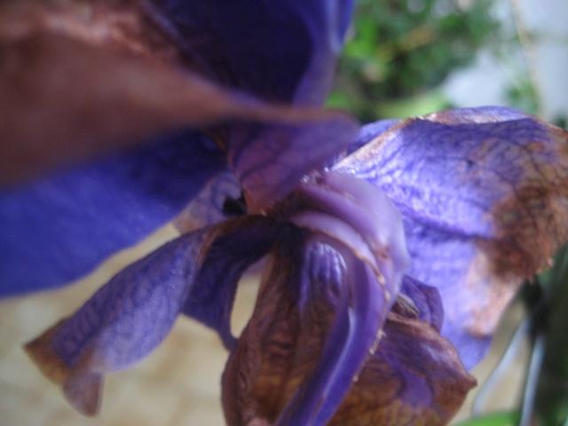 J'ai pollinisé mon vanda. Img_9473