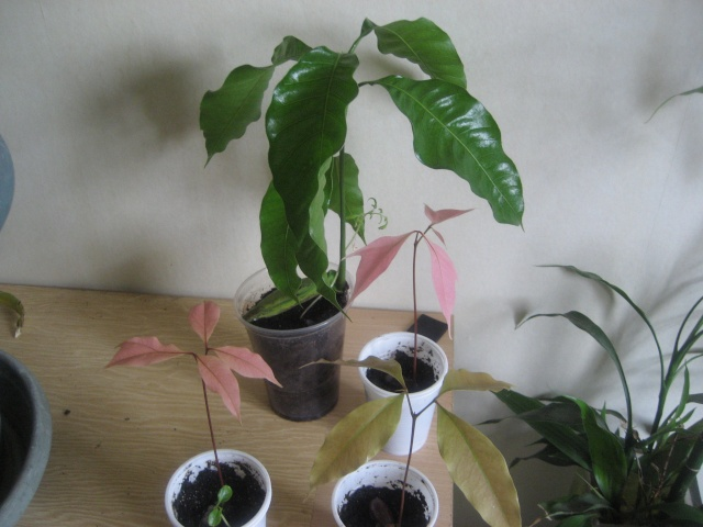 Plantation de manguier? feuilles fanée ? Img_9516