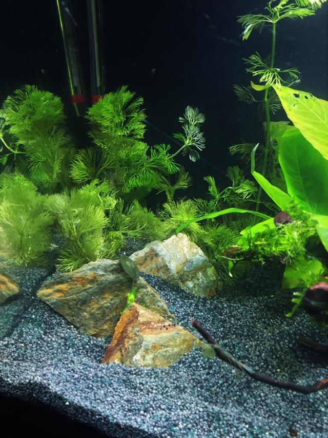 Mon 1er bac destiné aux crevettes: Problème d'algue ... - Page 2 Img_0928
