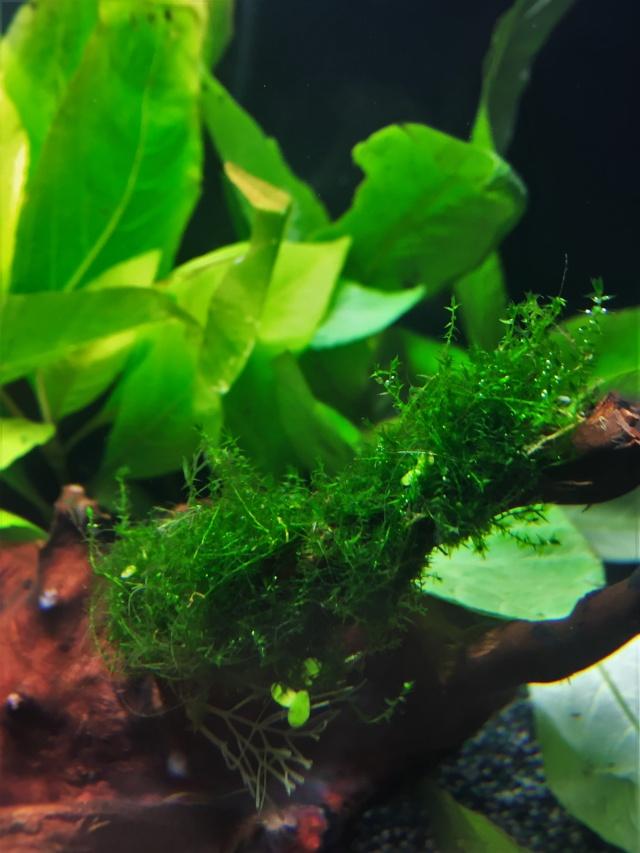 Mon 1er bac destiné aux crevettes: Problème d'algue ... - Page 2 Img_0929