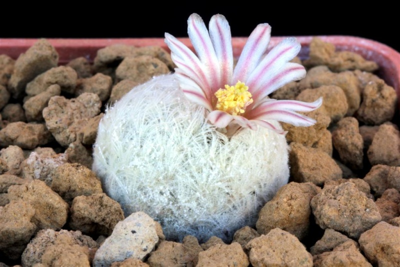 Mammillaria lasiacantha SB 500 009mam10