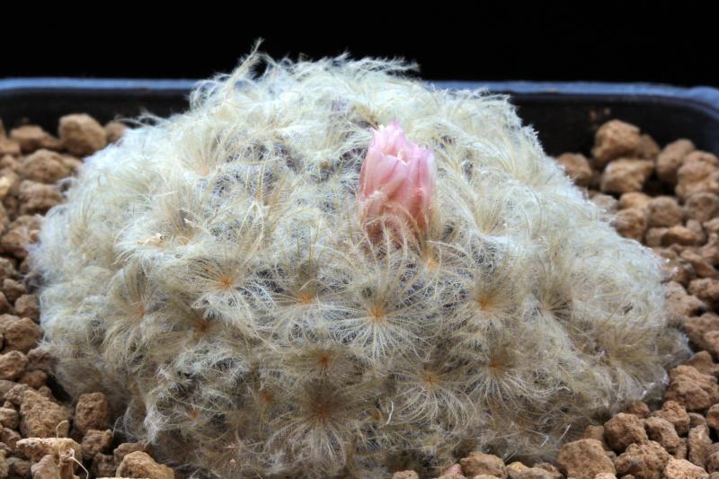 Mammillarias plumosa 182mam10