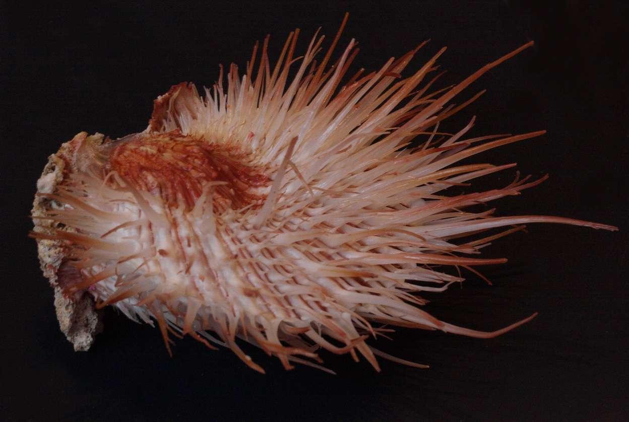 Spondylus visayensis - Poppe & Tagaro, 2010 Img_0310