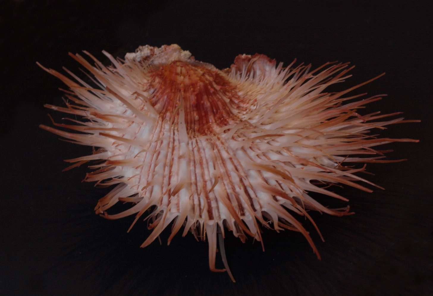 Spondylus visayensis - Poppe & Tagaro, 2010 Img_0312