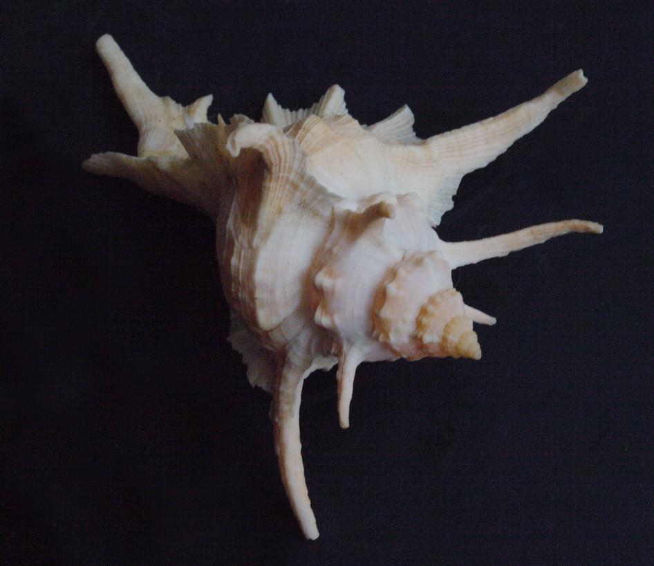 Siratus tenuivaricosus - (Dautzenberg, 1927) Img_0611