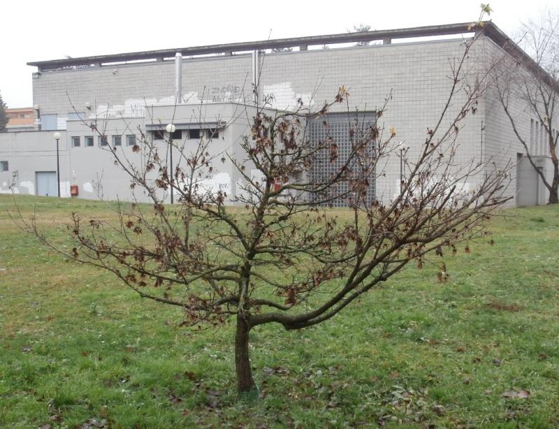 """Margotte e potature su alberi """"pubblici"""" Acero_10"""